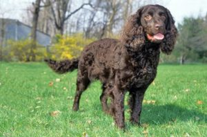 american-water-spaniel-dog-breed-information-15
