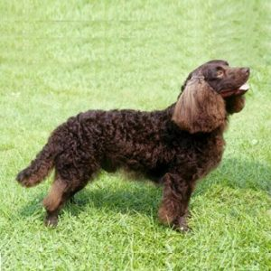 american-water-spaniel-dog-breed-information-17