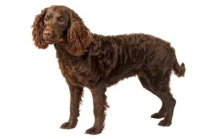 american-water-spaniel-dog-breed-information-18