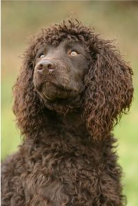 american-water-spaniel-dog-breed-information-19