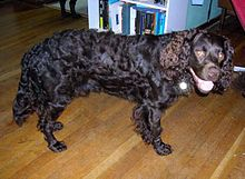 american-water-spaniel-dog-breed-information-2
