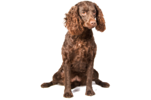 american-water-spaniel-dog-breed-information-20