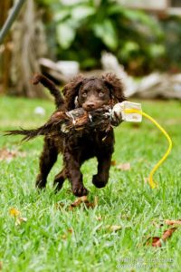 american-water-spaniel-dog-breed-information-22