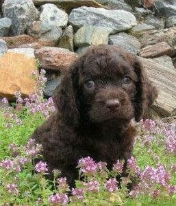 american-water-spaniel-dog-breed-information-23