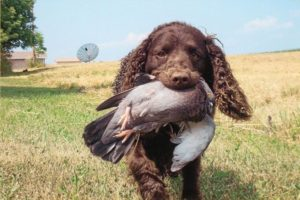 american-water-spaniel-dog-breed-information-24