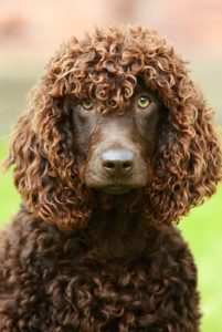 american-water-spaniel-dog-breed-information-25