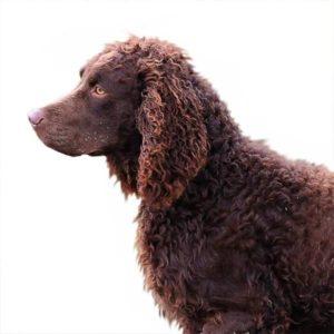 american-water-spaniel-dog-breed-information-26