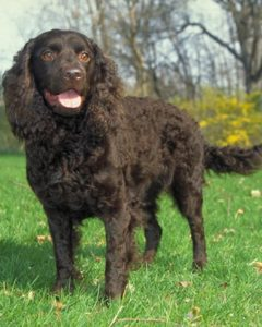 american-water-spaniel-dog-breed-information-27