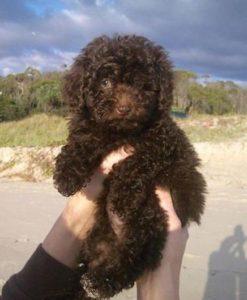 american-water-spaniel-dog-breed-information-3