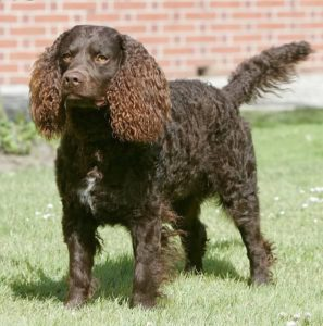 american-water-spaniel-dog-breed-information-4