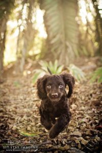 american-water-spaniel-dog-breed-information-5
