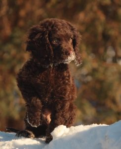 american-water-spaniel-dog-breed-information-6
