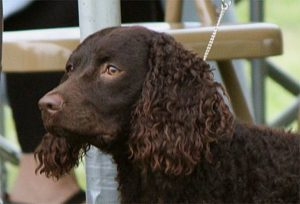 american-water-spaniel-dog-breed-information-8