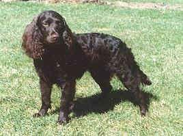 american-water-spaniel-dog-breed-information-9