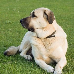 anatolian-shepherd-dog-dog-breed-information-1