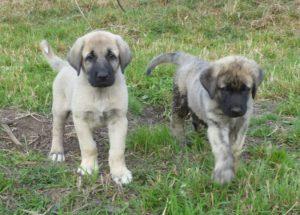 anatolian-shepherd-dog-dog-breed-information-11
