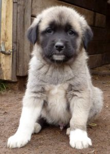 anatolian-shepherd-dog-dog-breed-information-12