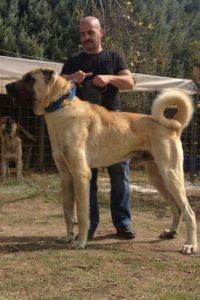 anatolian-shepherd-dog-dog-breed-information-13