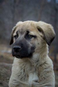 anatolian-shepherd-dog-dog-breed-information-15
