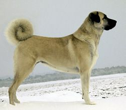 anatolian-shepherd-dog-dog-breed-information-16