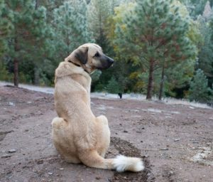 anatolian-shepherd-dog-dog-breed-information-19
