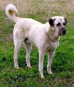 anatolian-shepherd-dog-dog-breed-information-21