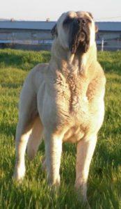 anatolian-shepherd-dog-dog-breed-information-22