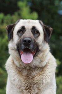 anatolian-shepherd-dog-dog-breed-information-24