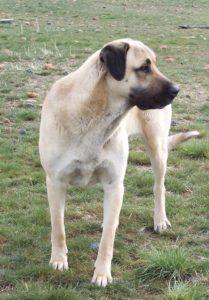anatolian-shepherd-dog-dog-breed-information-25