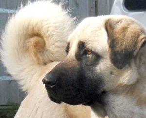 anatolian-shepherd-dog-dog-breed-information-26