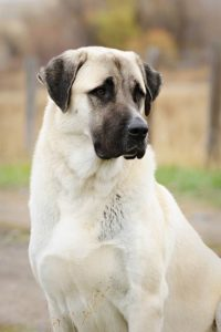 anatolian-shepherd-dog-dog-breed-information-3