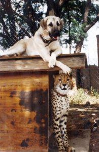 anatolian-shepherd-dog-dog-breed-information-4