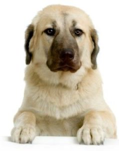 anatolian-shepherd-dog-dog-breed-information-5