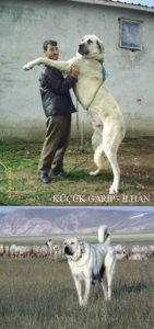 anatolian-shepherd-dog-dog-breed-information-6