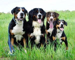 appenzeller-sennenhunde-dog-breed-information-1
