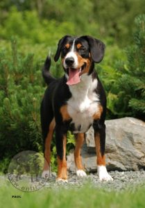 appenzeller-sennenhunde-dog-breed-information-14