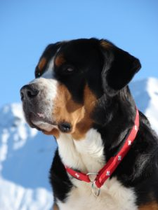 appenzeller-sennenhunde-dog-breed-information-15