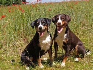 appenzeller-sennenhunde-dog-breed-information-17