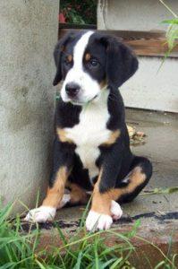 appenzeller-sennenhunde-dog-breed-information-19