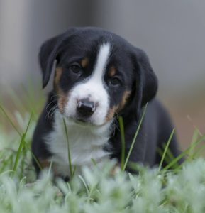 appenzeller-sennenhunde-dog-breed-information-20