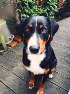 appenzeller-sennenhunde-dog-breed-information-21