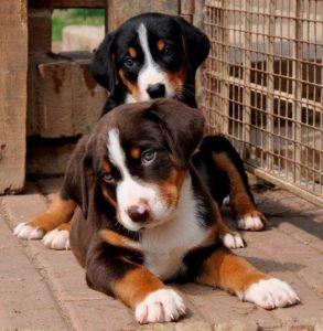 appenzeller-sennenhunde-dog-breed-information-22