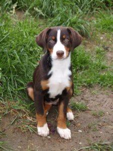 appenzeller-sennenhunde-dog-breed-information-23