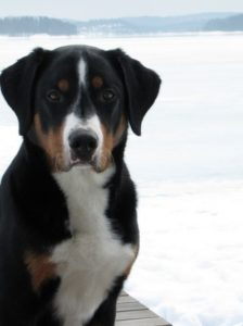 appenzeller-sennenhunde-dog-breed-information-24