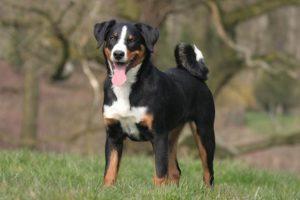 appenzeller-sennenhunde-dog-breed-information-25