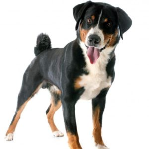 appenzeller-sennenhunde-dog-breed-information-26