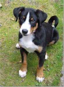 appenzeller-sennenhunde-dog-breed-information-4