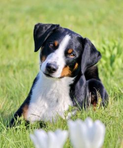 appenzeller-sennenhunde-dog-breed-information-5