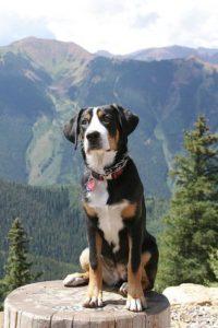 appenzeller-sennenhunde-dog-breed-information-6