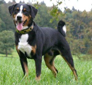 appenzeller-sennenhunde-dog-breed-information-8